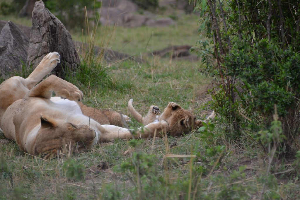 Female lion and her cub in Maasai Mara