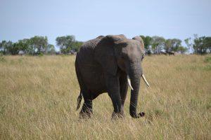 Seeing an elephant on Safari in Maasai Mara