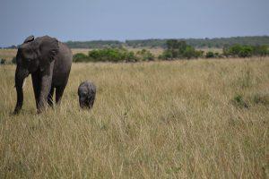 Mother and Baby elephant in Maasai Mara