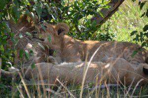 Lion cubs in the bush