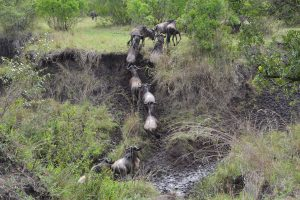 Wildebeest crossing small river