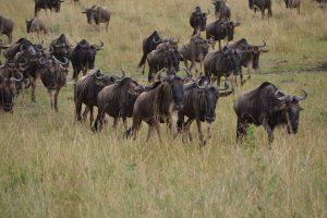 Wildebeest in grass in Maasai Mara