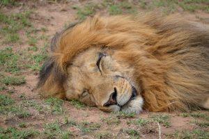 Lion sleeping in Maasai Mara