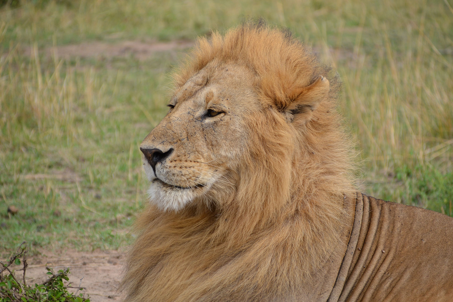 Male lion in Maasai Mara