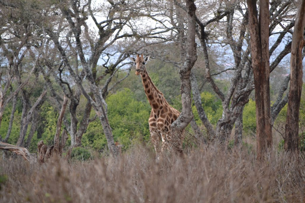 Giraffe between trees