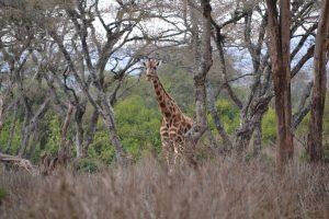 Giraffe between trees