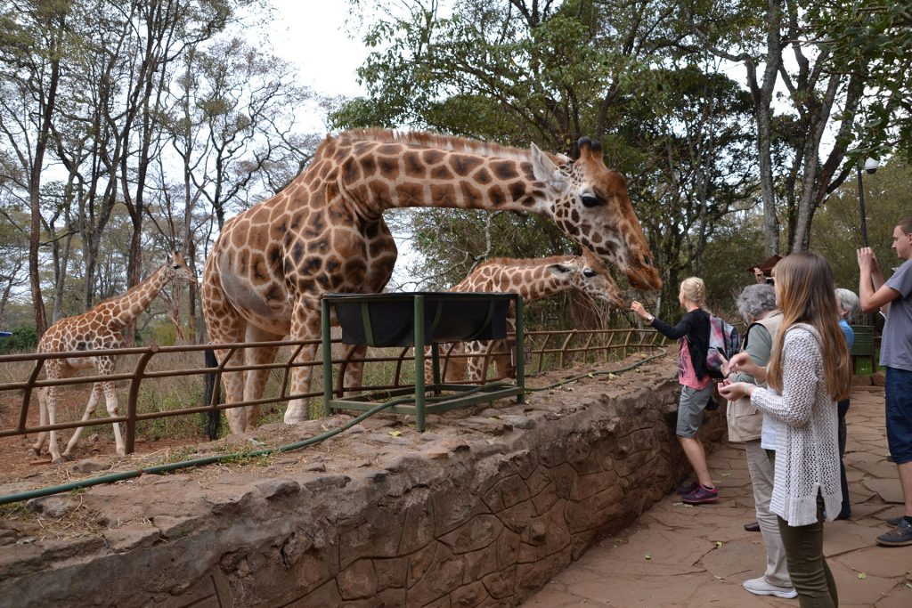people feed giraffes at Giraffe Center Nairobi