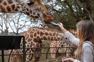 close up feeding a giraffe