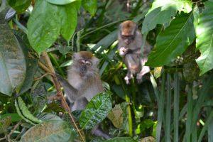 Monkeys in tree in Singapore