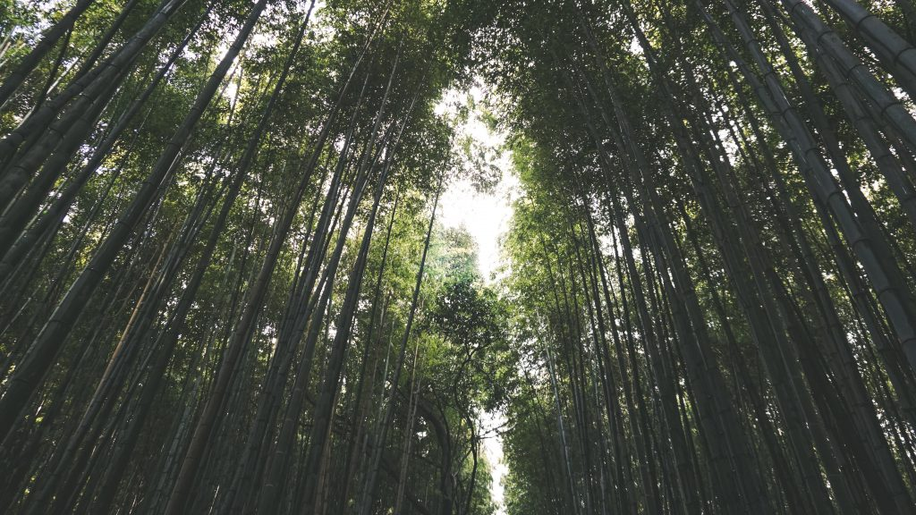 Bamboo Trees in Kyoto