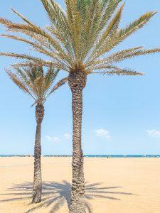 Valencia Beach Palm Trees